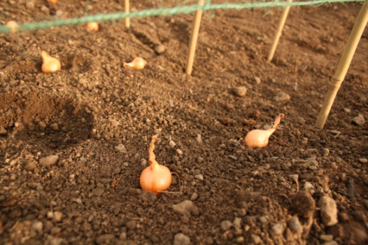 Onion sets being planted