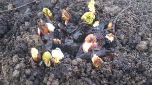 Rhubarb won't be long now!