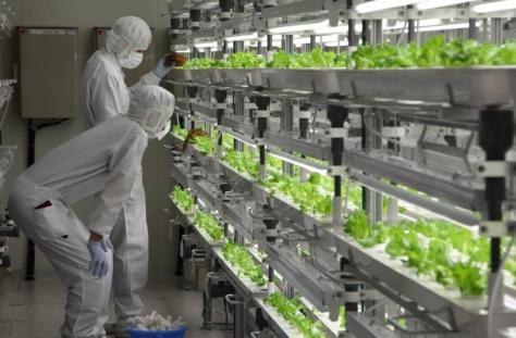 Engineers inspecting the lettuce at Fukushima Prefecture facility. Photo: Fujitsu