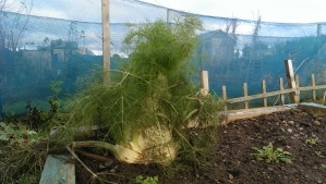 The terrifying fennel, this thing was bigger than my head