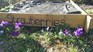 My new strawberry beds, complete with spring crocuses